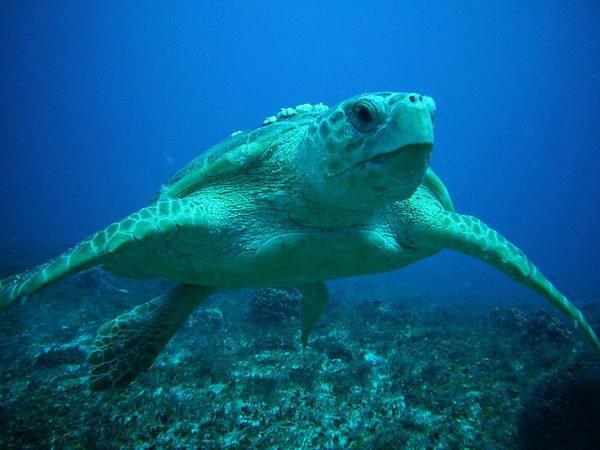 Дайвинг с черепахами