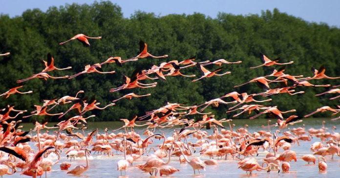 Розовые фламинго в заповеднике Рио Лагартос, Мексика