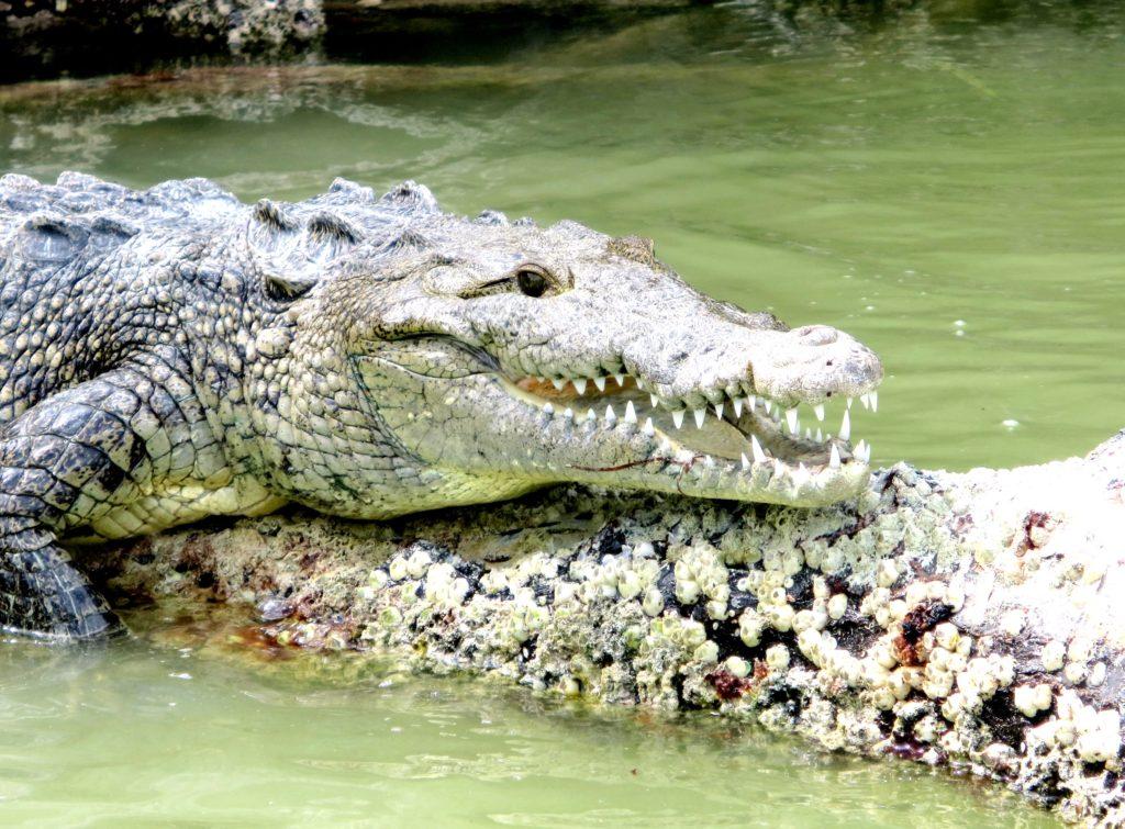 Крокодил Мореле в заповеднике Рио Лагартос, Мексика