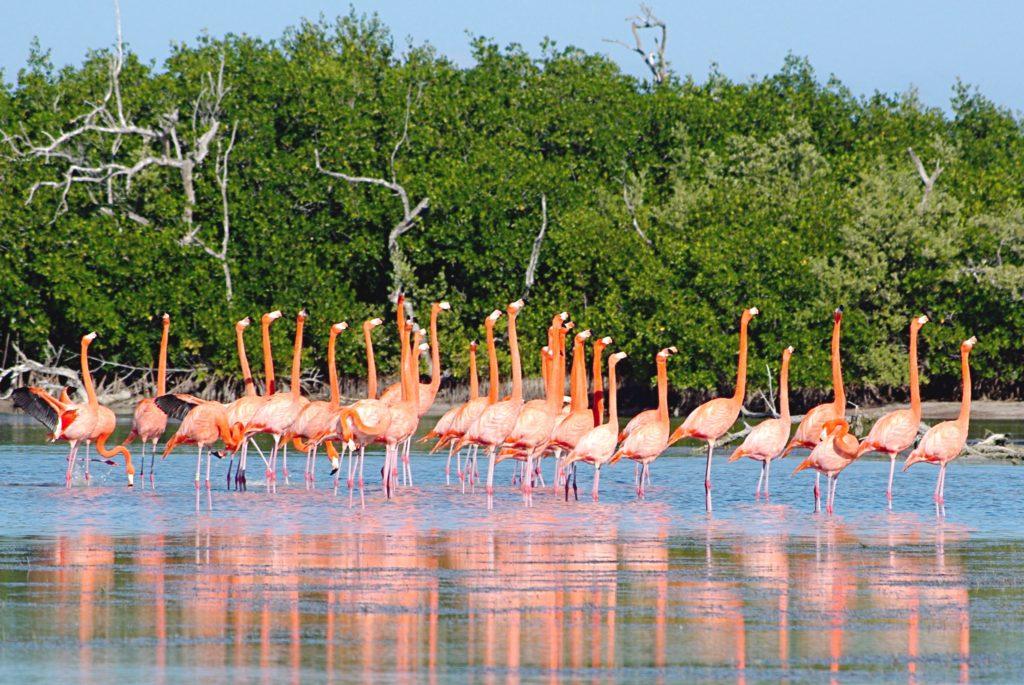 Розоввые фламинго в заповеднике Рио Лагартос, Мексика