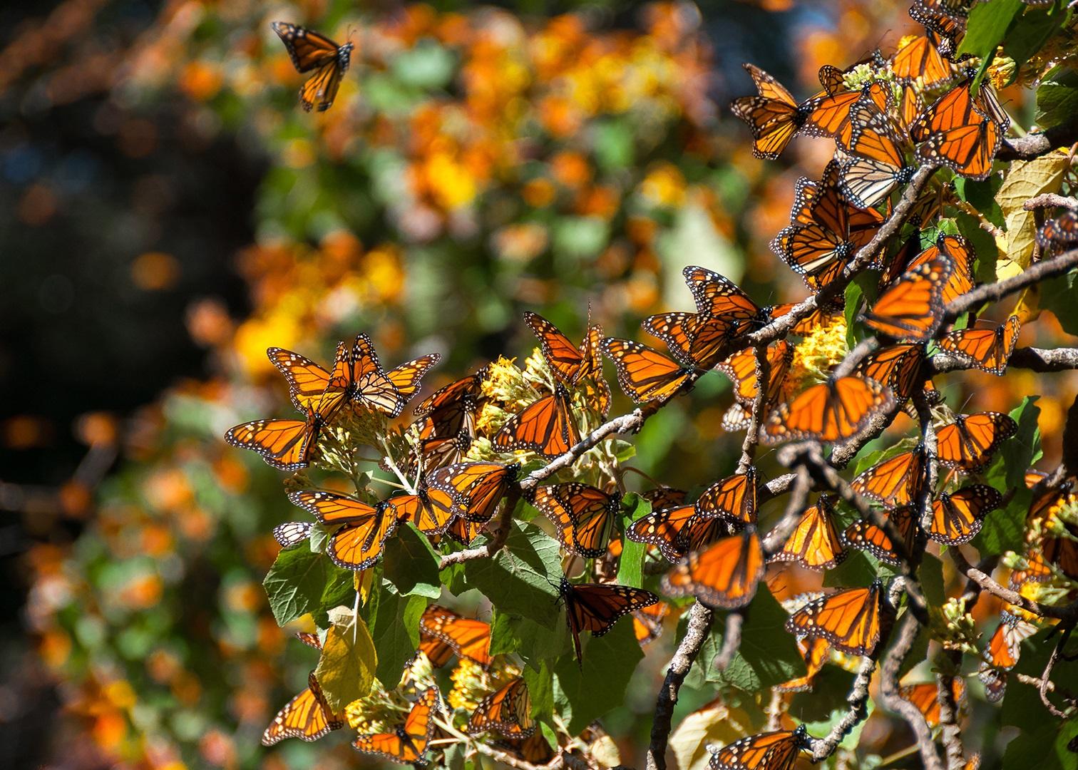 Национальный заповедник бабочек-монарх в Мехико