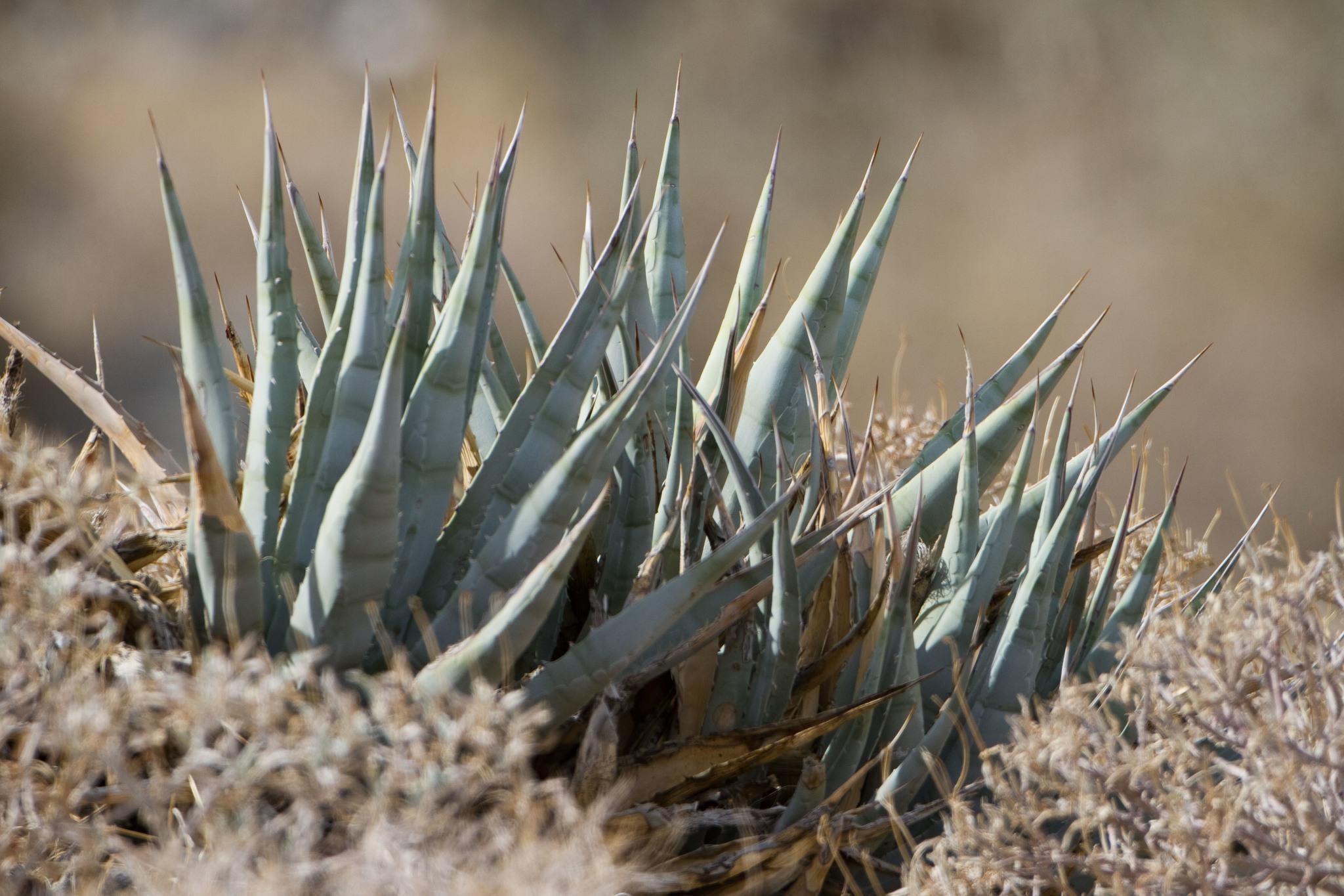 Пустынная агава